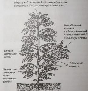Рис. 7. Формирование растения томата в теплице
