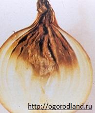 Шейковая гниль лука- грибное заболевание. Проявляется в период хранения. Верхняя часть луковицы размягчается.