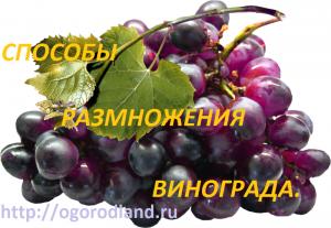 Способы размножения винограда.
