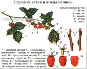Строение ветки и ягоды малины.