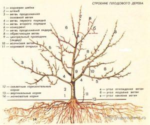 Строение плодового дерева.