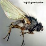 Свекловичная минирующая муха- пепельного цвета, длинной 6-8.