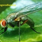 Свекловичная муха.