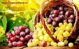 Там винограда гроздь литая...