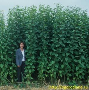 Топинамбур.Растение-гигант.