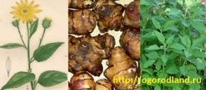 Топинамбур ( земляная груша)