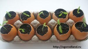 В яичных скорлупках можно выращивать рассаду помидор.