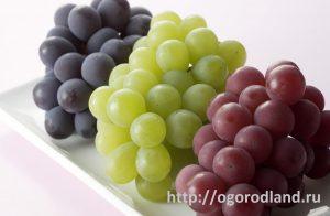 Виноград. Сорта.