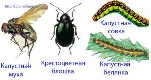 Вредители капусты. Крестоцветная блошка,Капустная белянка,Капустная муха,Капустная совка.