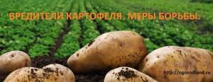 Вредители картофеля наносят большой вред урожаю.