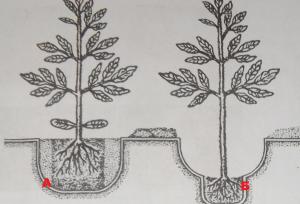 Рис. 5. Высадка рассады томатов на грядку: а - высадка непереросшей рассады; б - высадка немного переросшей рассады;