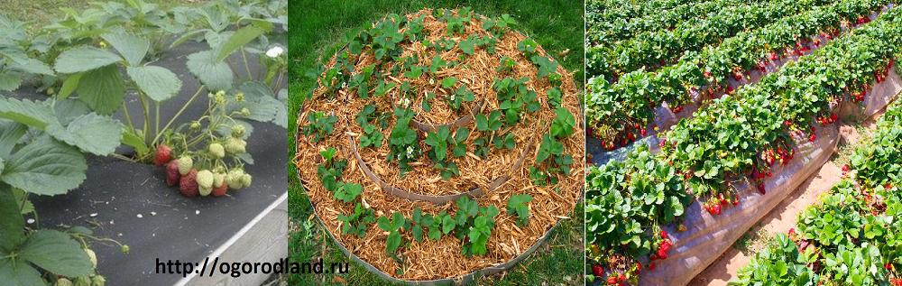 Выращивание клубники по соломе 73