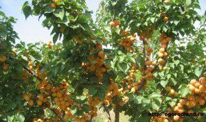 дерево абрикос