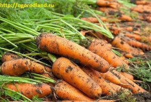 Как вырастить урожайную морковь.