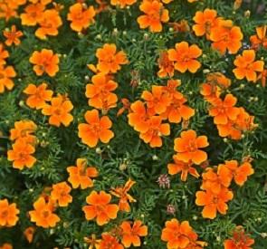 Сорт Карина оранжевая.