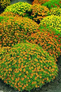 В пору цветения растения похожи на цветущий шар, усыпанные различного цвета соцветиями-корзинками..