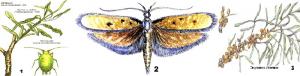 Вредители и болезни облепихи. 1-Зеленая облепиховая тля ;2-Облепиховая выемчатокрылая моль;3-Эндомикоз облепихи