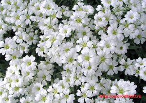 Алиссум Снежный ковер, самый популярный у садоводов сорт, отличающийся от Розовой королевы более сильным ароматом.