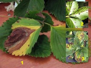 1) Бурая пятнистость 2) Белая пятнистость 3) коричневая пятнистость