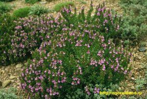 Чабер хорошо растет на легких суглинистых и супесчаных почвах с добавлением органических удобрений.
