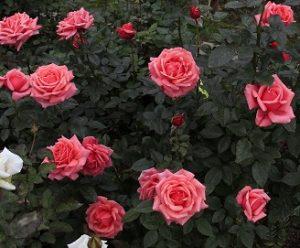 Чайно-гибридные кустовые розы.