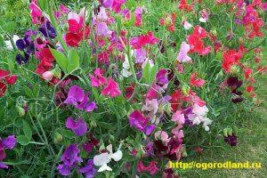 Душистый горошек — светолюбивое и холодостойкое растение, обильно цветет при умеренных температурах. При высоких температурах и недостатке влаги цветки мельчают и цветение прекращается.