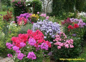 Основные достоинства флокса: неприхотливость, продолжительное цветение, разнообразие окрасок, крупные, чрезвычайно красочные соцветия.