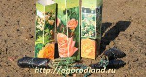 Немаловажное значение имеет правильная посадка саженцев роз, что обеспечивает оптимальный рост и развитие растений.