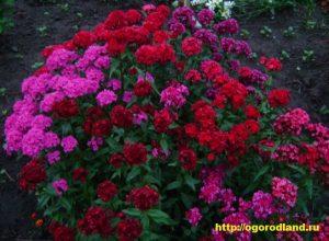 Ценится срезка гвоздики за раннее цветение и яркие чистые цвета: белые, розовые, медно-красные, бархатно-черные. Гвоздика зацветает в июне.
