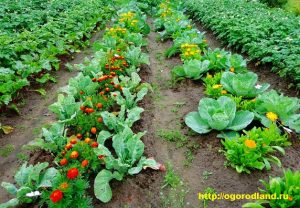 Календулу полезно выращивать среди земляничных кустов, лука и чеснока, она помогает предотвратить земляничную, луковую нематоду.