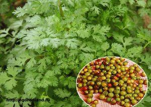 Огородный совет. Хранить пряную зелень рекомендуется в герметичной стеклянной посуде,иначе запах быстро улетучивается