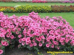 Цветет лаватера до самых сильных холодов (до конца октября)