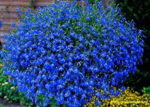 Сеют лобелию рано — в феврале, так как растения развиваются медленно.