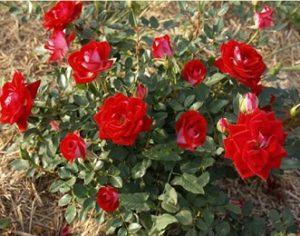 Миниатюрная роза. Красная.