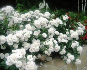 Миниатюрные почвопокровные розы.