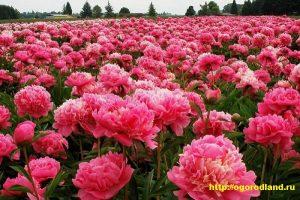 У многих сортов пионов крупные цветки, которые полегают, особенно после дождей.