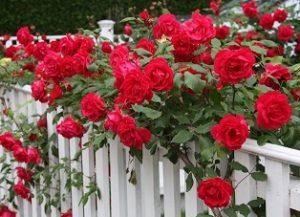 Плетистые вьющиеся розы.