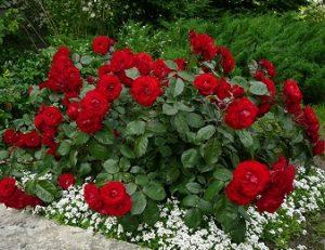 Полиантоавая роза. Красная.