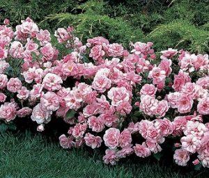Полиантовая роза.