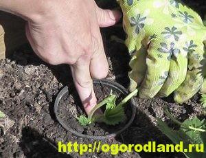 Клубника (Земляника садовая). Выращивание и уход 1