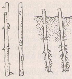 Рис. 3. Черенки, подготовленные к посадке (слева). Окоренившиеся черенки (справа).