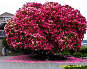 Эффектно смотрятся групповые посадки рододендронов, как однотонных, так и с различной окраской цветов.