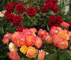 Розы класс Флорибунда.