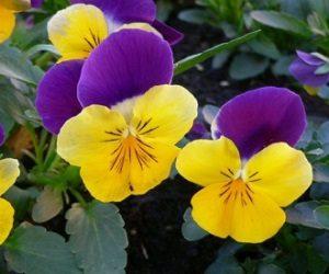 Виола желто-фиолетовая.