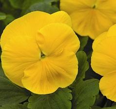 Виола желтая.