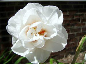 """Махровый белый двухцветный сорт нарцисса """"Акрополис""""."""