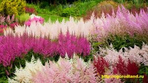 Размножают астильбу семенами, высевая их весной или осенью на затененные гряды без заделки почвой, и делением куста через 4 — 5 лет в конце лета или весной.