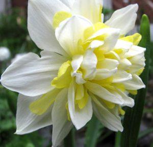 """Махровый белый двухцветный сорт нарцисса """"Айрин Коуленд""""."""