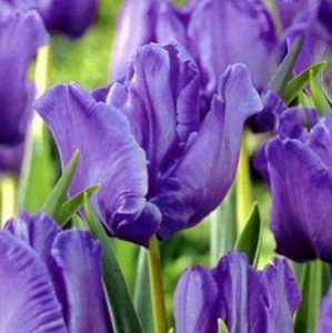 """Тюльпаны. Сорт """"Blue Parrot""""."""