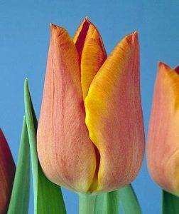 """Среднецветущие красные тюльпаны. Сорт""""Фиделио"""" (с оранжевой каймой)."""